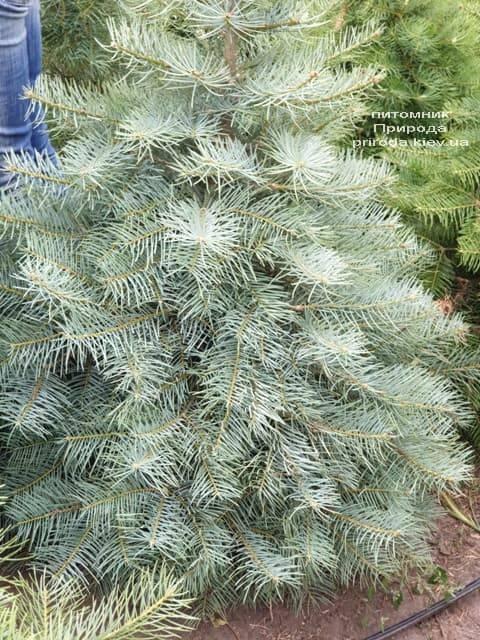 Пихта одноцветная (Abies Concolor) ФОТО Питомник растений Природа (17)