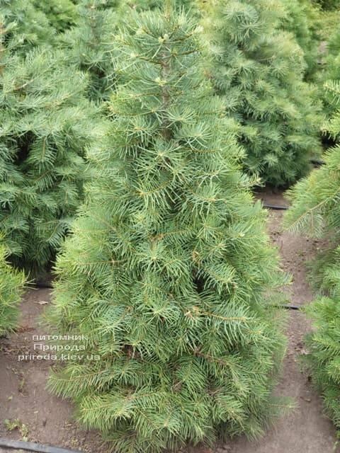 Пихта одноцветная (Abies Concolor) ФОТО Питомник растений Природа (19)