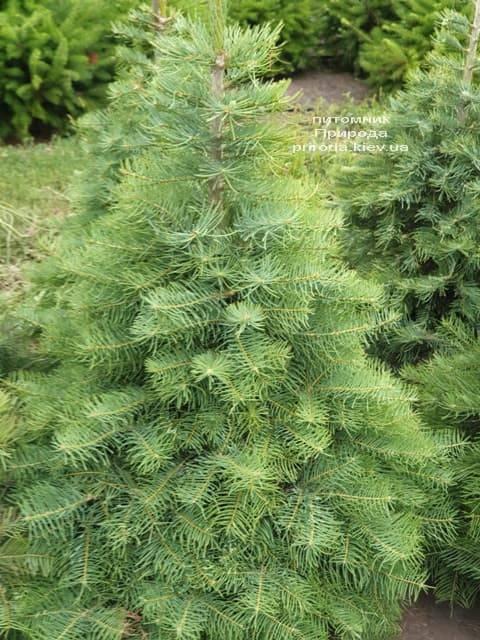 Пихта одноцветная (Abies Concolor) ФОТО Питомник растений Природа (20)