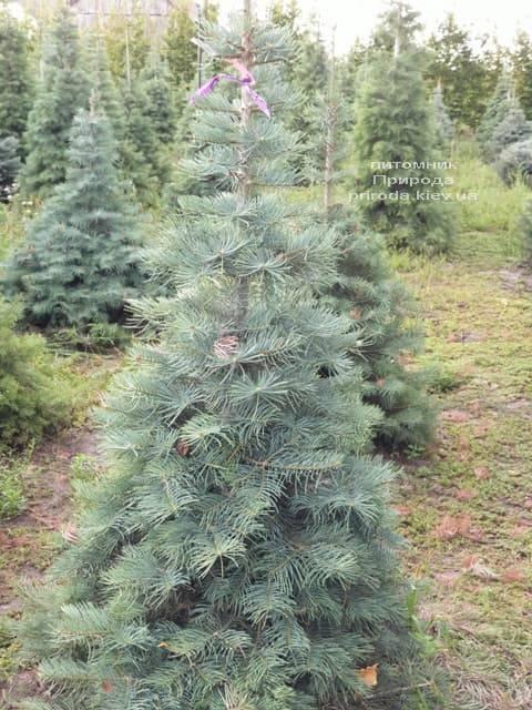 Ялиця одноколірна (Abies Concolor) ФОТО Розплідник рослин Природа (21)