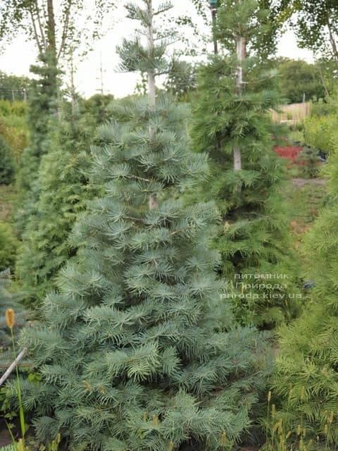 Ялиця одноколірна (Abies Concolor) ФОТО Розплідник рослин Природа (22)