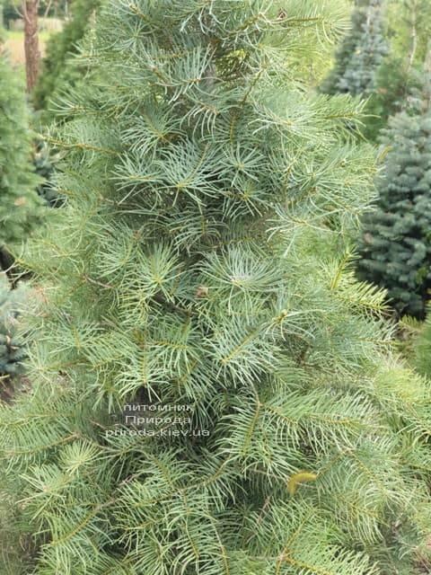 Ялиця одноколірна (Abies Concolor) ФОТО Розплідник рослин Природа (23)