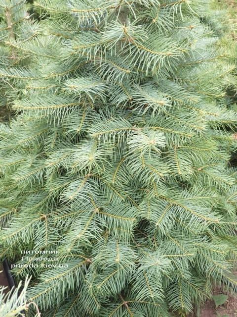 Ялиця одноколірна (Abies Concolor) ФОТО Розплідник рослин Природа (24)
