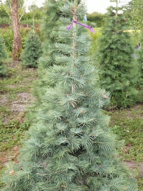 Пихта одноцветная (Abies Concolor) ФОТО Питомник растений Природа (25)