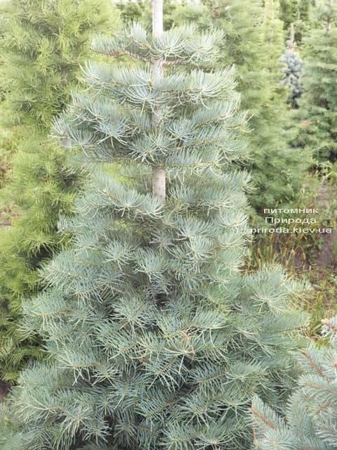 Пихта одноцветная (Abies Concolor) ФОТО Питомник растений Природа (26)