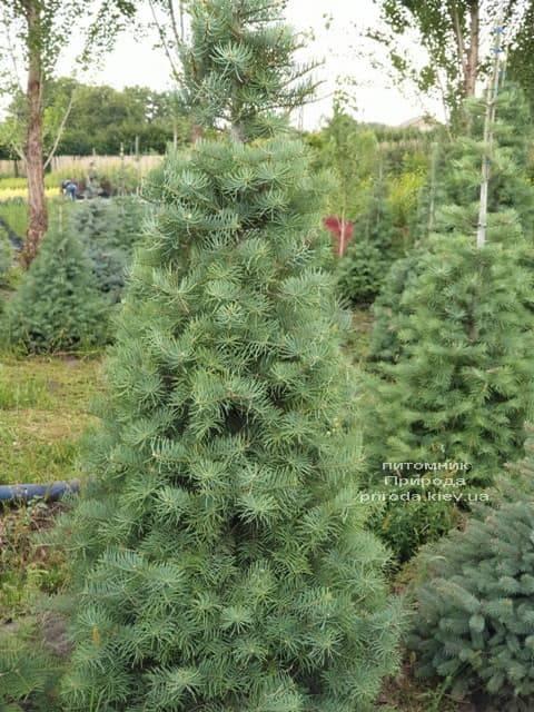 Пихта одноцветная (Abies Concolor) ФОТО Питомник растений Природа (27)