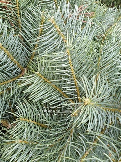 Пихта одноцветная (Abies Concolor) ФОТО Питомник растений Природа (30)