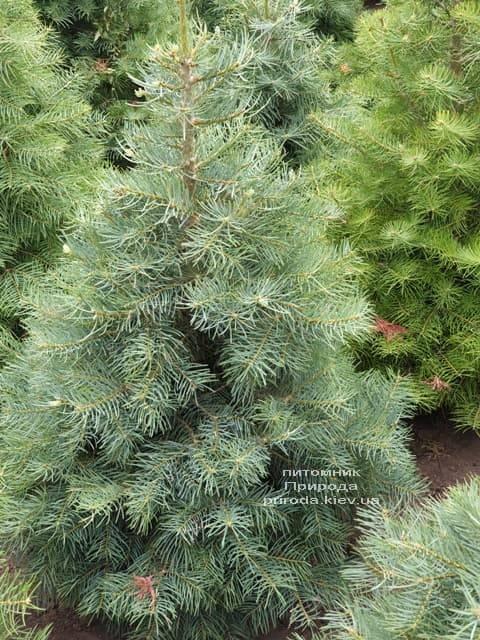 Пихта одноцветная (Abies Concolor) ФОТО Питомник растений Природа (9)