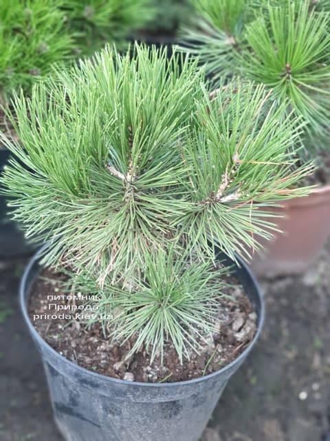 Сосна Белокорая (Боснийская) (Pinus leucodermis) ФОТО Питомник растений Природа (7)