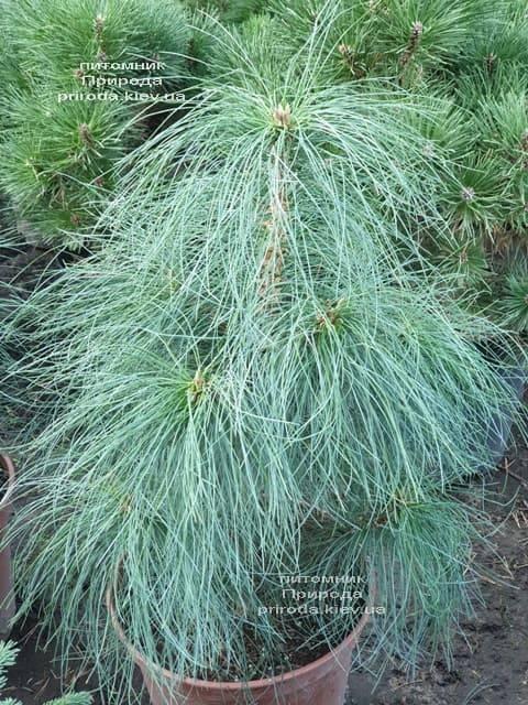 Сосна Гималайская (Гриффита) (Pinus wallichiana griffithii) ФОТО Питомник растений Природа (1)