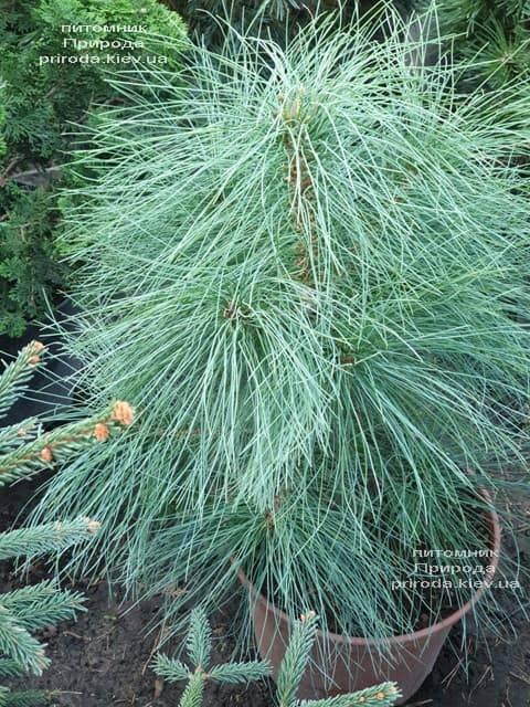 Сосна Гималайская (Гриффита) (Pinus wallichiana griffithii) ФОТО Питомник растений Природа (2)