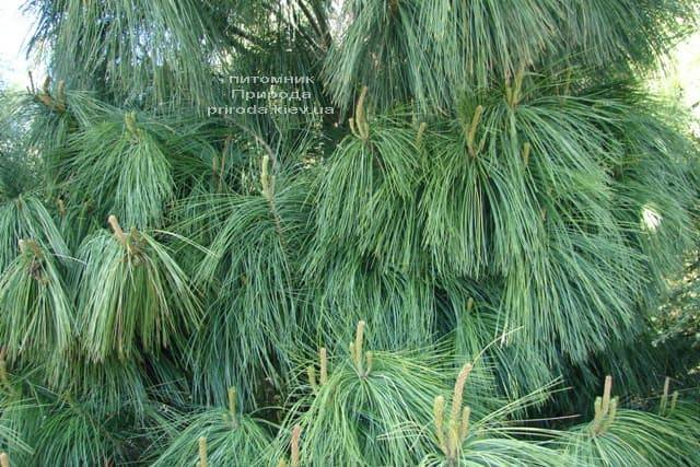 Сосна Гималайская (Гриффита) (Pinus wallichiana griffithii) ФОТО Питомник растений Природа (4)