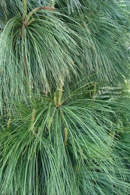 Сосна Гималайская (Гриффита) (Pinus wallichiana griffithii) ФОТО Питомник растений Природа (5)