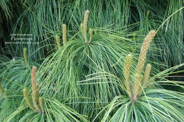 Сосна Гималайская (Гриффита) (Pinus wallichiana griffithii) ФОТО Питомник растений Природа (6)
