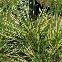 Сосна Окулус Драконис (Pinus densiflora Oculus Draconis) ФОТО Питомник растений Природа (1)
