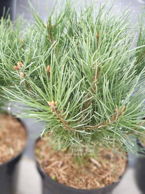 Сосна обыкновенная Ватерери (Pinus sylvestris Watereri) ФОТО Питомник растений Природа (11)