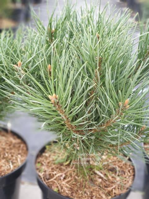 Сосна обыкновенная Ватерери (Pinus sylvestris Watereri) ФОТО Питомник растений Природа (12)