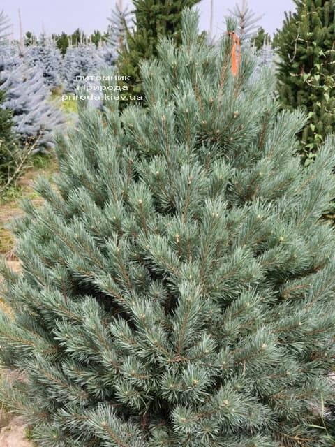 Сосна обыкновенная Ватерери (Pinus sylvestris Watereri) ФОТО Питомник растений Природа (13)