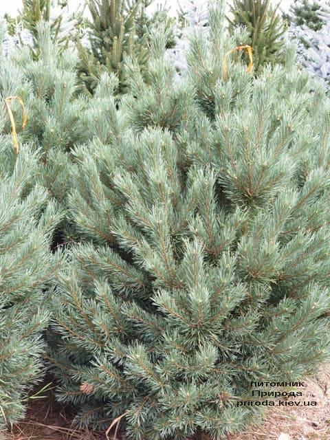 Сосна обыкновенная Ватерери (Pinus sylvestris Watereri) ФОТО Питомник растений Природа (14)