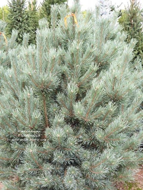 Сосна обыкновенная Ватерери (Pinus sylvestris Watereri) ФОТО Питомник растений Природа (15)