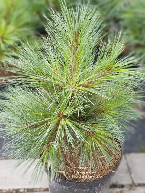 Сосна Веймутова Макопін (Pinus strobus Macopin) ФОТО Розплідник рослин Природа (1)