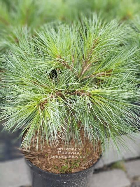 Сосна Веймутова Макопін (Pinus strobus Macopin) ФОТО Розплідник рослин Природа (2)