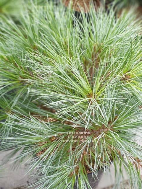 Сосна Веймутова Макопін (Pinus strobus Macopin) ФОТО Розплідник рослин Природа (3)