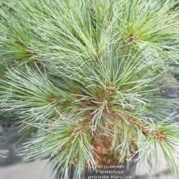 Сосна веймутова Макопин (Pinus strobus Macopin) ФОТО Питомник растений Природа (4)