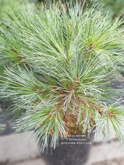 Сосна Веймутова Макопін (Pinus strobus Macopin) ФОТО Розплідник рослин Природа (4)