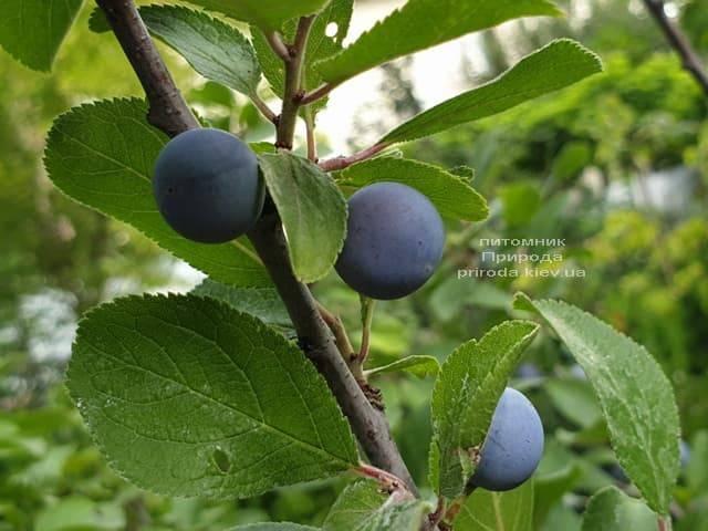 Тёрн на штамбе (Prunus spinosa) ФОТО Питомник растений Природа (1)