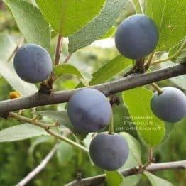 Терен на штамбі (Prunus spinosa) ФОТО Розплідник рослин Природа (2)