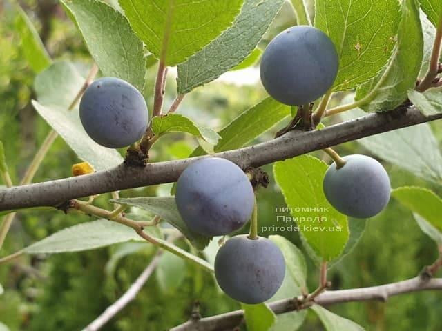 Тёрн на штамбе (Prunus spinosa) ФОТО Питомник растений Природа (2)