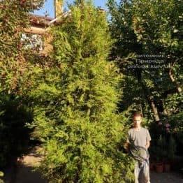 Туя складчаста гиганская (Thuja plicata) ФОТО Розплідник рослин Природа