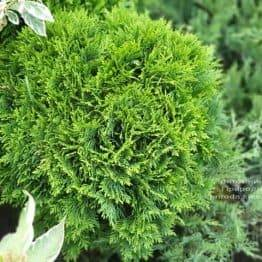 Туя западная Даника (Thuja occidentalis Danica) ФОТО Питомник растений Природа (22)