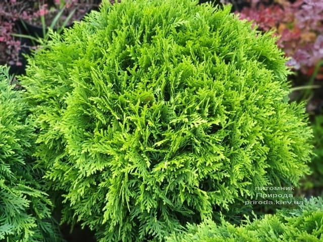 Туя западная Даника (Thuja occidentalis Danica) ФОТО Питомник растений Природа (24)