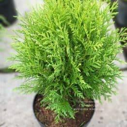 Туя західна куляста Вудвард (Thuja occidentalis Woodwardii) ФОТО Розплідник рослин Природа (1)