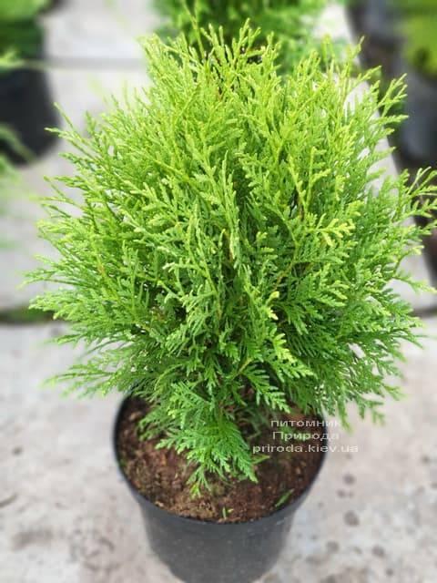 Туя западная шаровидная Вудварди (Thuja occidentalis Woodwardii) ФОТО Питомник растений Природа (1)