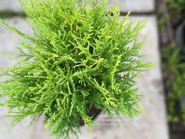 Туя западная шаровидная Вудварди (Thuja occidentalis Woodwardii) ФОТО Питомник растений Природа (2)