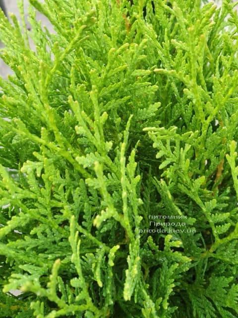 Туя западная шаровидная Вудварди (Thuja occidentalis Woodwardii) ФОТО Питомник растений Природа (3)