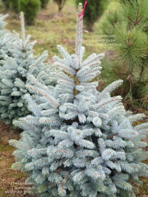 Ель голубая Маджестик Блю (Picea pungens Glauca Majestic Blue) ФОТО Питомник растений Природа (1)