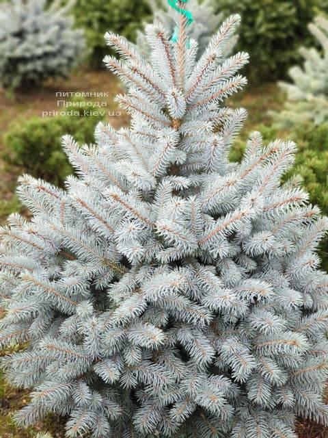 Ель голубая Маджестик Блю (Picea pungens Glauca Majestic Blue) ФОТО Питомник растений Природа (2)