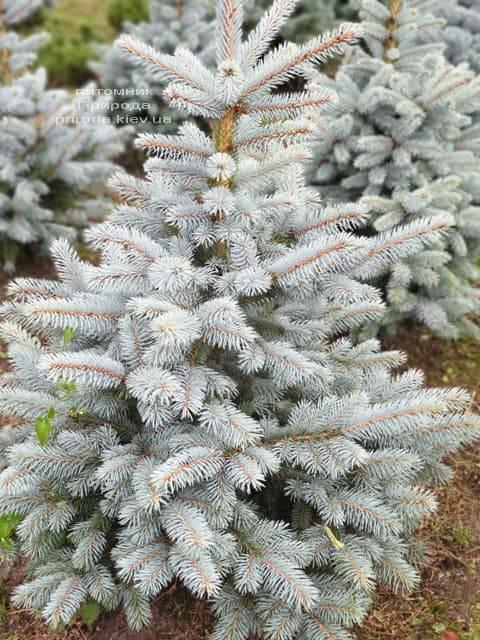 Ель голубая Маджестик Блю (Picea pungens Glauca Majestic Blue) ФОТО Питомник растений Природа (3)