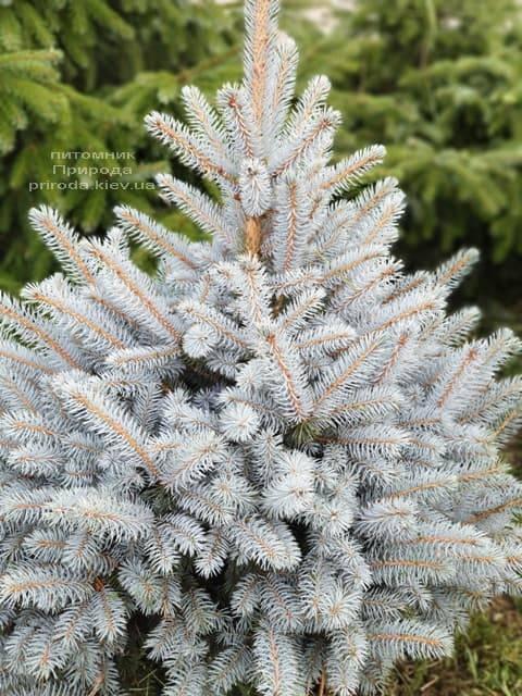Ель голубая Маджестик Блю (Picea pungens Glauca Majestic Blue) ФОТО Питомник растений Природа (6)