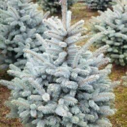 Ялина блакитна Маджестик Блю (Picea pungens Glauca Majestic Blue) ФОТО Розплідник рослин Природа (7)