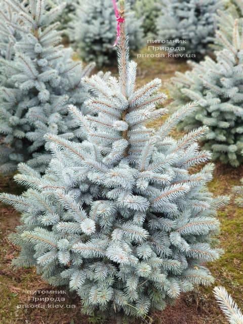 Ель голубая Маджестик Блю (Picea pungens Glauca Majestic Blue) ФОТО Питомник растений Природа (7)