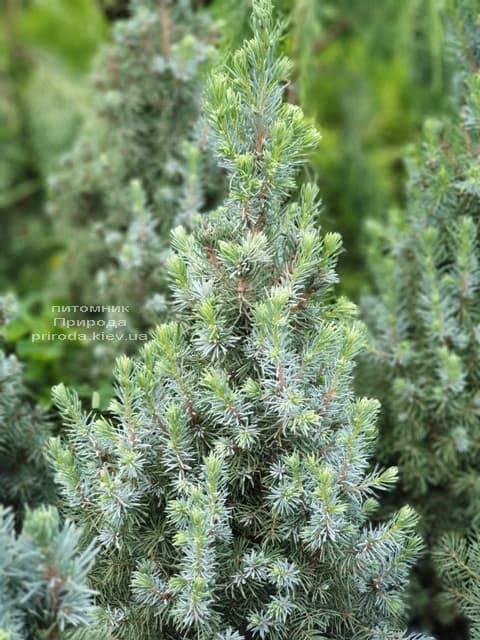 Ель канадская Сандерс Блю (Picea glauca Sanders Blue) ФОТО Питомник растений Природа (4)