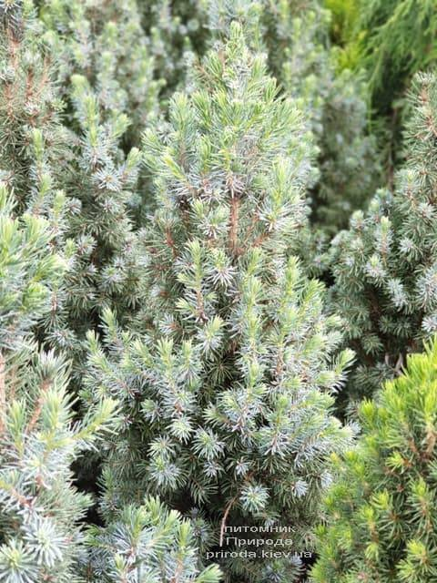 Ель канадская Сандерс Блю (Picea glauca Sanders Blue) ФОТО Питомник растений Природа (5)