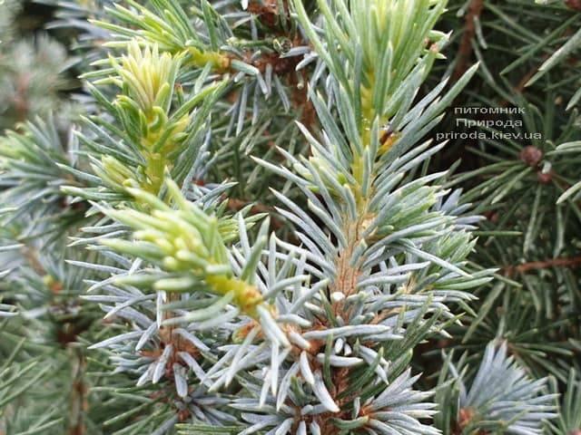 Ель канадская Сандерс Блю (Picea glauca Sanders Blue) ФОТО Питомник растений Природа (6)