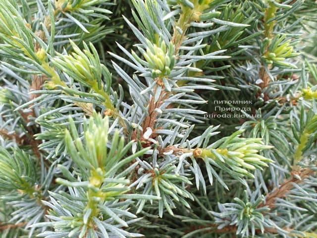 Ель канадская Сандерс Блю (Picea glauca Sanders Blue) ФОТО Питомник растений Природа (7)