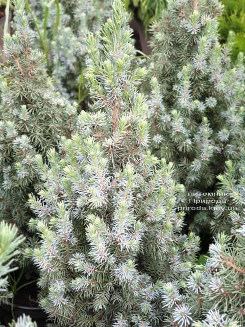 Ель канадская Сандерс Блю (Picea glauca Sanders Blue) ФОТО Питомник растений Природа (8)